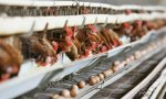 chickens-battery-cages