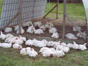 Pasture-raised chickens.  Image courtesy of Honeyhillorganicfarm.com