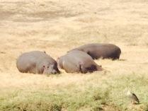 Sunning hippos
